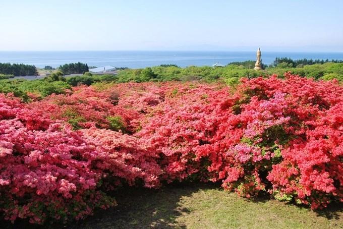 Say lòng mùa hoa đỗ quyên rực rỡ khắp Nhật Bản