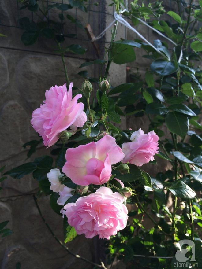 Khu vườn hoa hồng rộng 500m² với hàng trăm gốc hồng đẹp rực rỡ của người phụ nữ gốc Hà Thành
