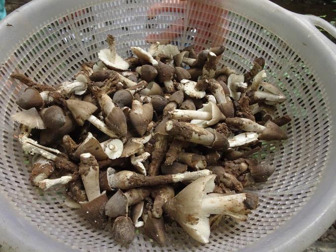 Bí quyết săn nấm mối cả triệu đồng một kg ở miền Tây