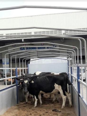 Vinamilk nhập lô bò A2 thuần chủng đầu tiên từ
