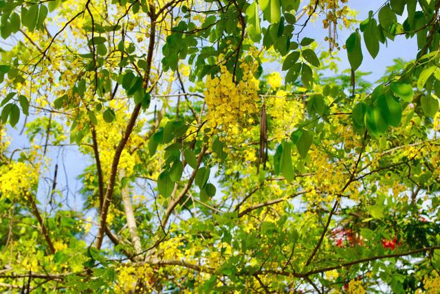 Ngẩn ngơ trước vẻ đẹp rực rỡ hoa bò cạp vàng