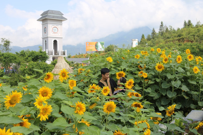 Thung lũng hoa Fansipan thêm hấp dẫn bởi Tuần lễ hoa hướng dương 2018
