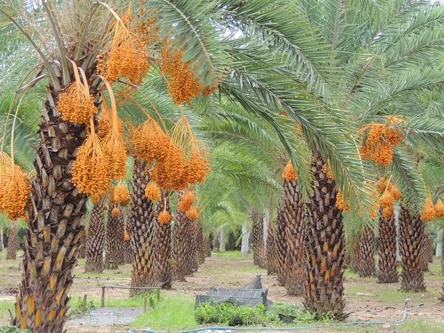 'Sốt' với vườn Chà là đang ra trái rực rỡ ở làng hoa Sa Đéc