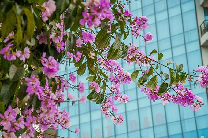 Nao lòng ngắm hoa bằng lăng nhuộm tím khắp phố phường Hà Nội
