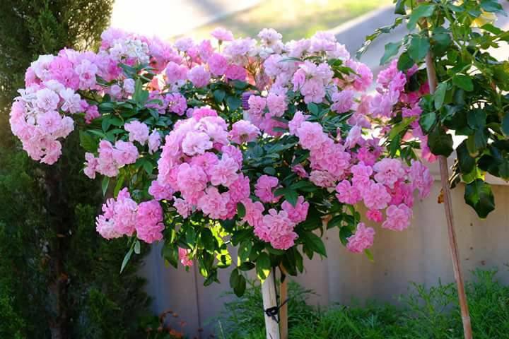 4 bước cực đơn giản chăm sóc hoa hồng ngày nóng 40 độ của mẹ Việt tại Úc