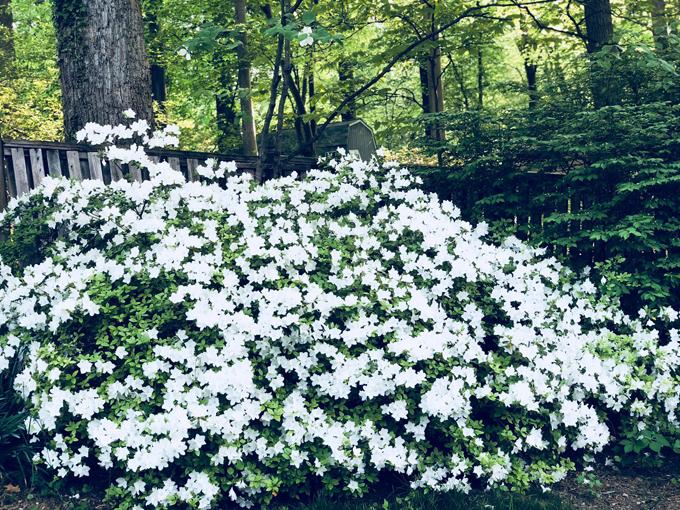 Sắc hoa đỗ quyên ngập lối vườn nhà Bằng Lăng ở Mỹ