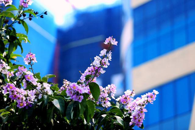 Bằng lăng thức giấc gọi hè về trên phố Hà Nội