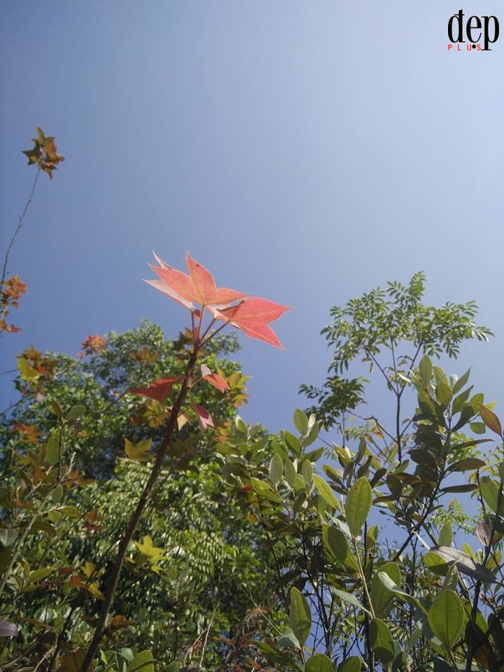 Về Hải Dương ngắm rừng phong chùa Thanh Mai rực rỡ trong nắng đông