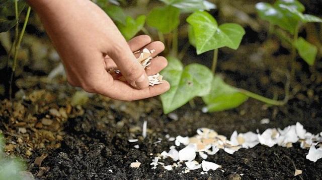 Muốn cây phát triển tươi tốt, hãy tận dụng ngay phân bón làm từ vỏ trứng