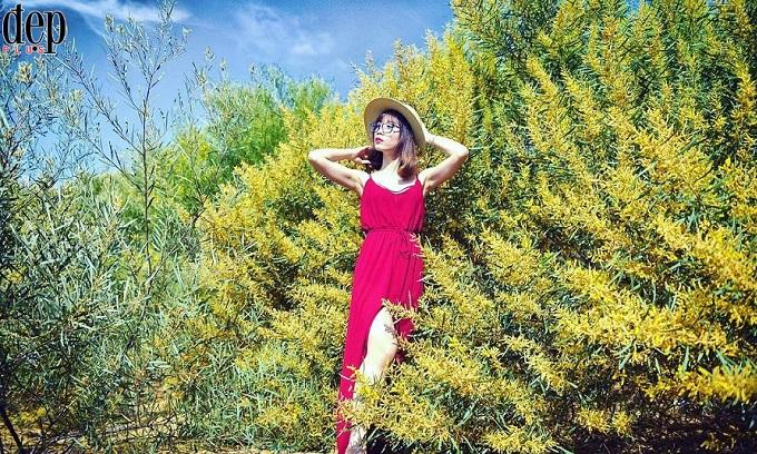 Phan Thiết rực rỡ mùa hoa keo lá tràm