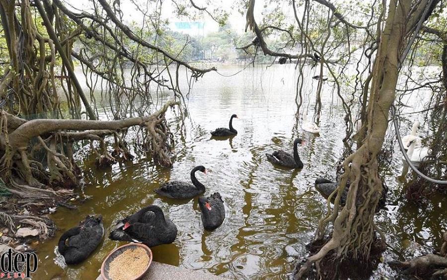 12 con thiên nga ở Hồ Gươm bị bắt trong đêm sẽ được đưa đi đâu?