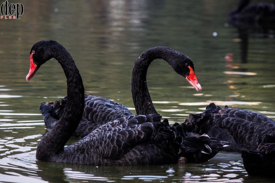 Người dân Hà Nội thích thú với hồ thiên nga giữa lòng thủ đô