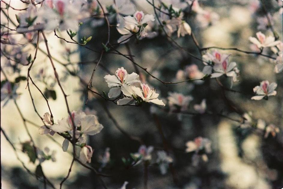 Hoa ban, hoa sưa Hà Nội đua nhau bung nở đúng dịp 8/3