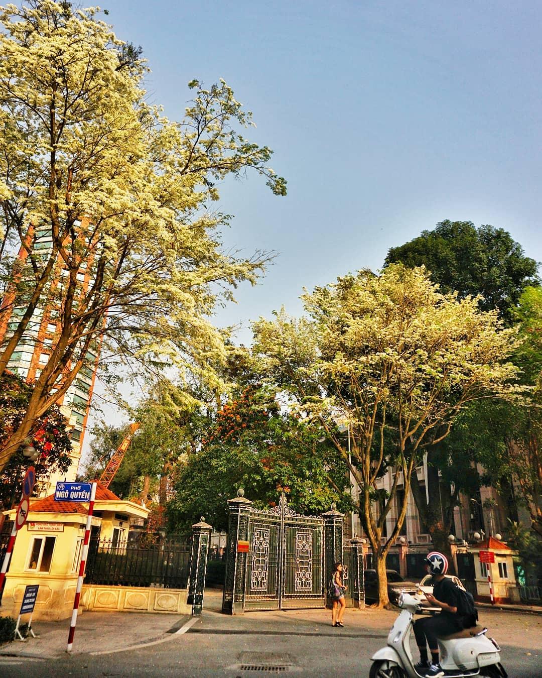 Chùm ảnh: Hà Nội đẹp nao lòng mùa hoa sưa