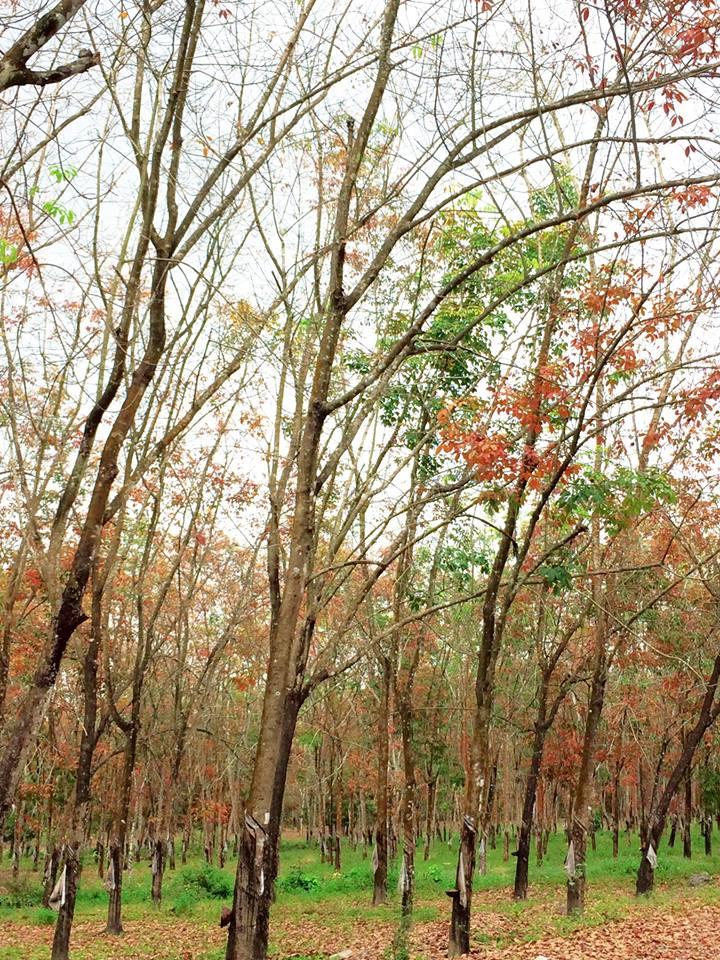 Ngỡ ngàng với vẻ đẹp rừng cao su mùa thay lá