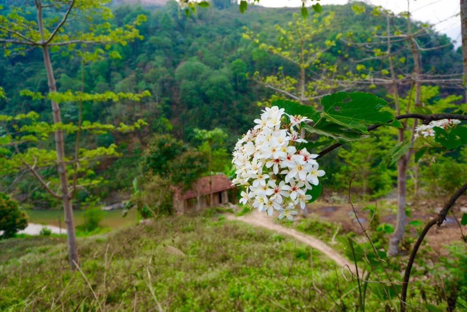Lên Tây Bắc ngắm hoa trẩu nở rợp trời tháng Tư