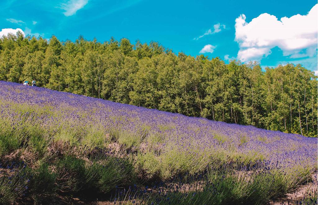 Đắm chìm trong ngày hè ươm tím oải hương ở Hokkaido