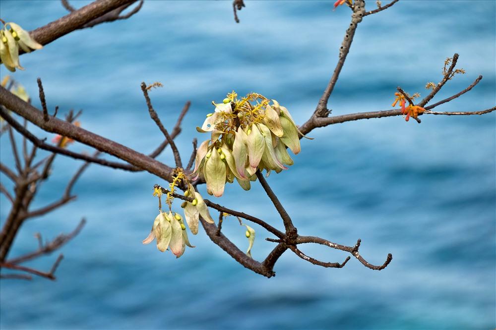 Hoa ngô đồng khoe sắc trên đảo Cù Lao Chàm