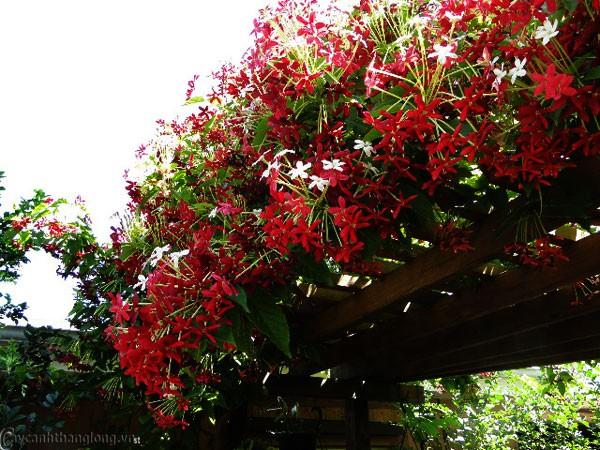 Trồng 7 loại cây có hoa này để ngôi nhà mát lịm trong những ngày nóng như đổ lửa