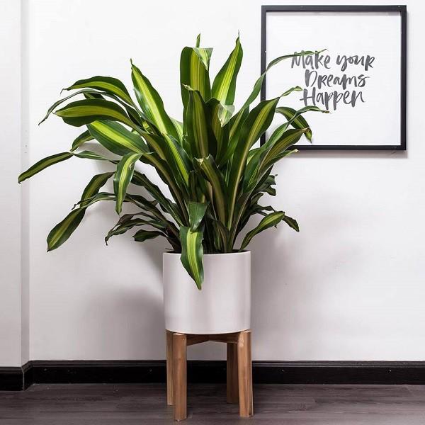 7 loại cây cảnh nếu trồng trước cửa nhà gia chủ có thể yên tâm hưởng phúc - 4