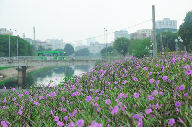 Ảnh: Bất ngờ ven sông Tô Lịch có con đường hoa tím nên thơ