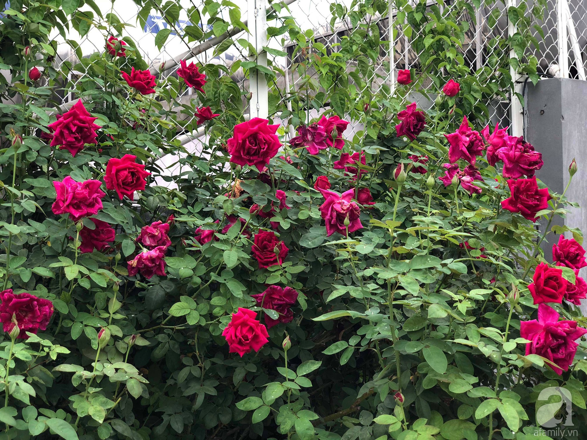 Khu vườn trên sân thượng rộng 200m² đẹp ngỡ ngàng với trăm loài hoa đua nhau khoe sắc ở Hà Nội - 30