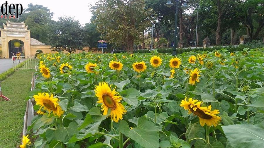 Có một vườn hoa hướng dương khoe sắc ngay khuôn viên Hoàng Thành Thăng Long