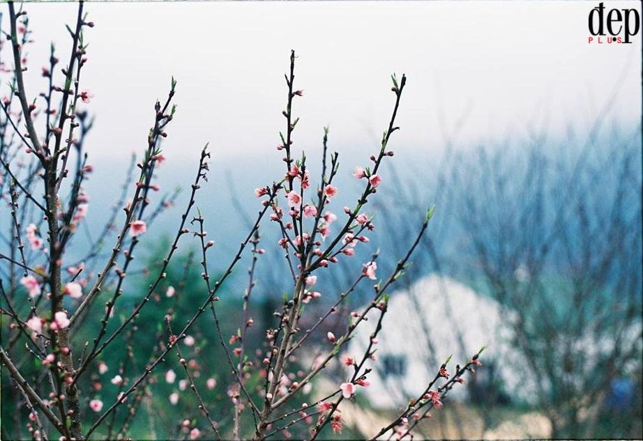 Hoa đào nở rực rỡ thác Bản Giốc những ngày cuối đông