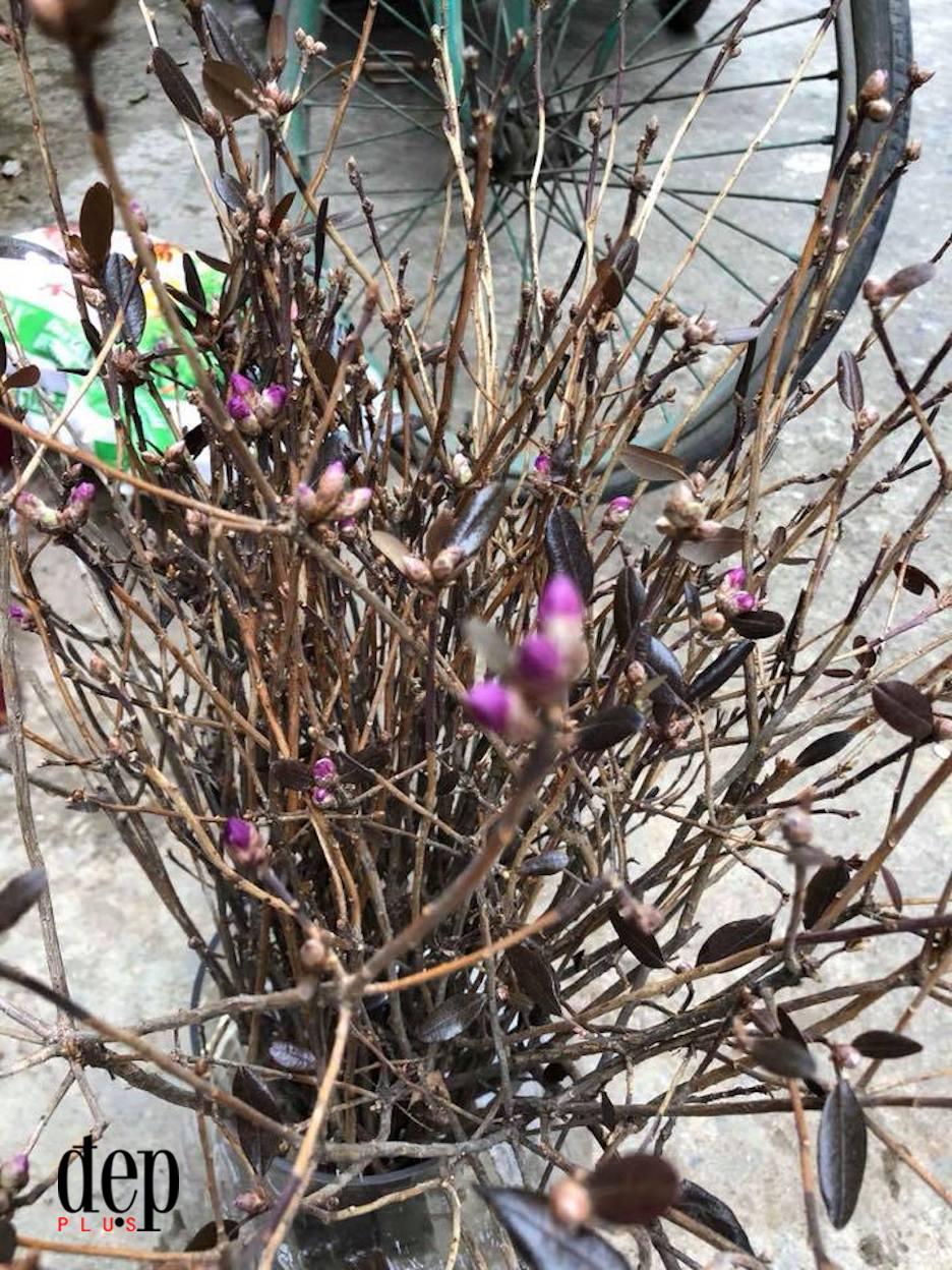 Cẩn trọng với đỗ quyên ngủ đông - loại hoa cảnh đang được các chị em ồ ạt săn lùng để trang trí tết