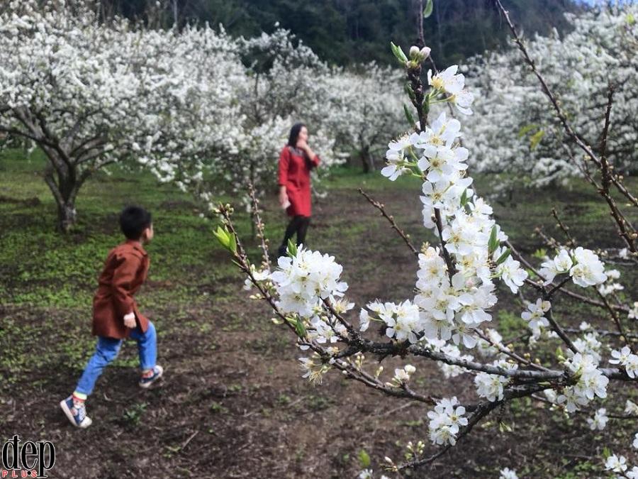Hết hoa mơ, hoa mận Mộc Châu lại hút khách du lịch