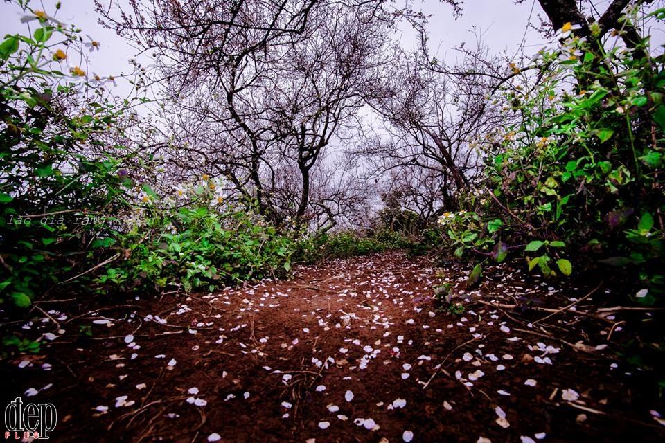Cuối tuần rủ nhau lên Mộc Châu ngắm hoa mơ nở trắng trời