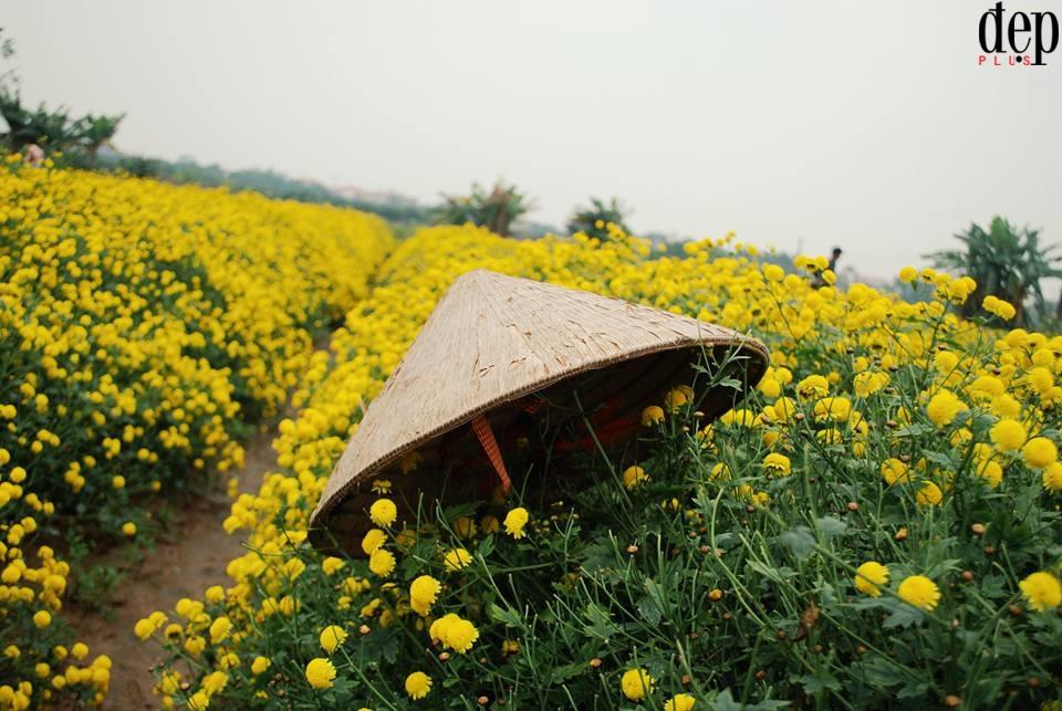 Mê mẩn với cánh đồng hoa cúc chi nhuộm vàng Hưng Yên những ngày cuối đông