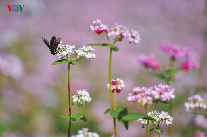 Tới Hà Giang ngắm hoa tam giác mạch đẹp ngất ngây