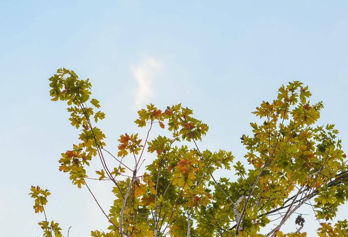 Những cây phong đỏ đầu tiên ở Hà Nội bắt đầu chuyển màu
