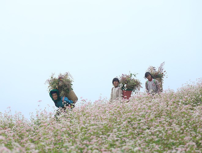 Ngất ngây những cánh đồng hoa tam giác mạch ở Hà Giang