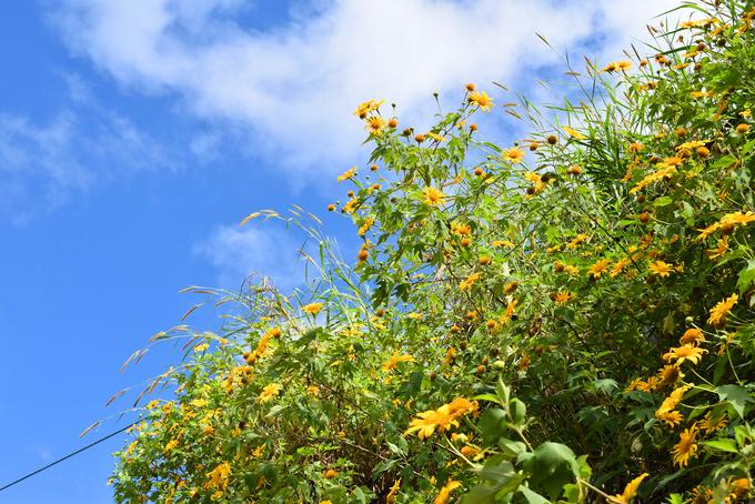 Sắc hoa dã quỳ vàng rực phủ khắp các cung đường Đà Lạt - 1