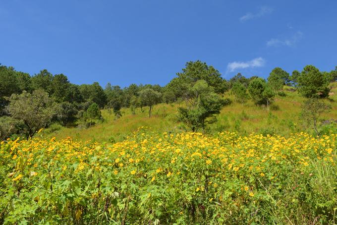 Sắc hoa dã quỳ vàng rực phủ khắp các cung đường Đà Lạt - 5