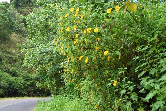 Sắc hoa dã quỳ vàng rực phủ khắp các cung đường Đà Lạt - 6