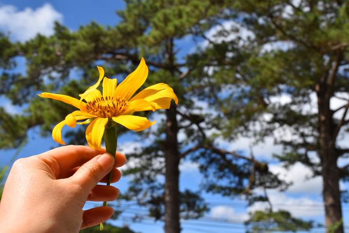 Sắc hoa dã quỳ vàng rực phủ khắp các cung đường Đà Lạt - 7