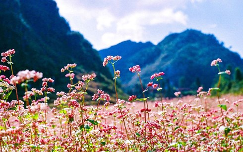 Hấp dẫn lễ hội hoa Tam giác mạch Hà Giang