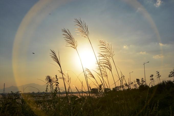 Cánh đồng bạt ngàn cỏ lau trắng giữa sông Trà Khúc - 3