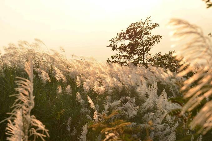 Cánh đồng bạt ngàn cỏ lau trắng giữa sông Trà Khúc - 7